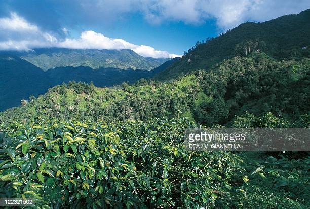 Jamaica Blue Mountains Coffee growing