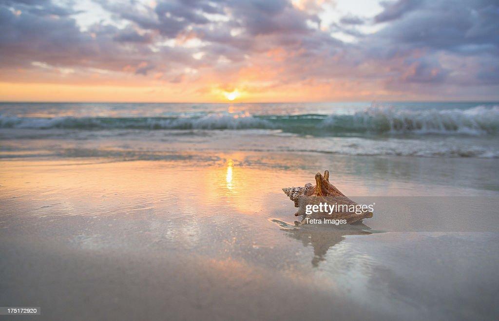 Jamaica, Conch shell on beach : Stock Photo