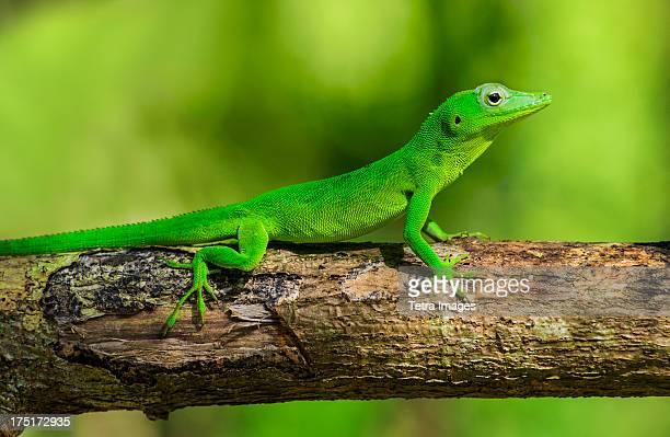 Jamaica, Green gecko on branch