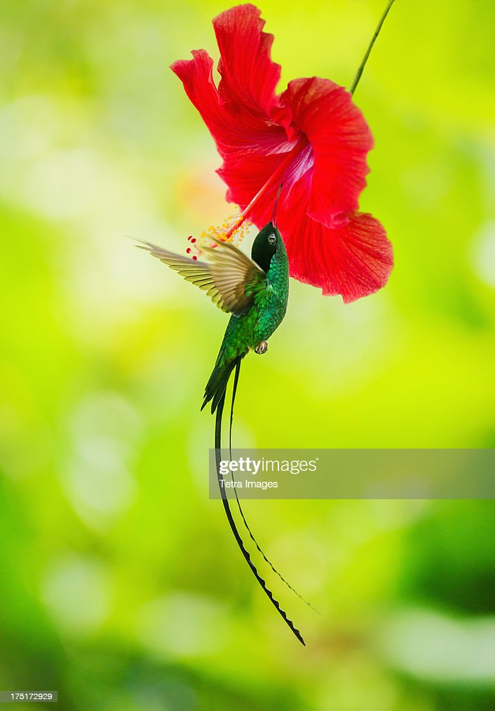 Jamaica, Hummingbird feeding with flower nectar : Stock Photo
