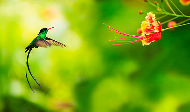 Jamaica, Hummingbird In Flight Wall Art