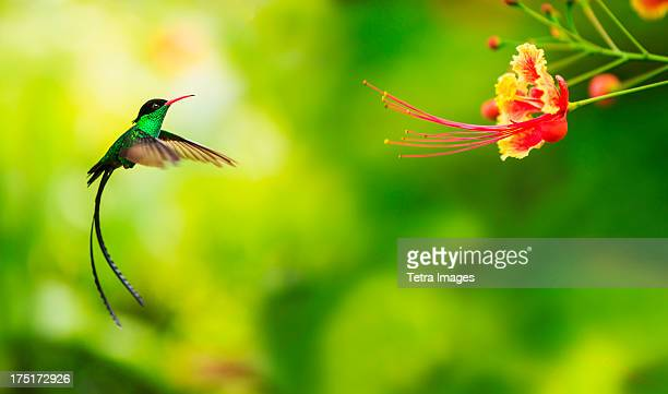 jamaica, hummingbird in flight - jamaica stock pictures, royalty-free photos & images