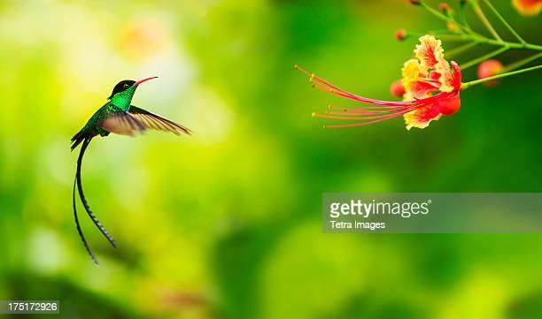 jamaica, hummingbird in flight - beija flor imagens e fotografias de stock