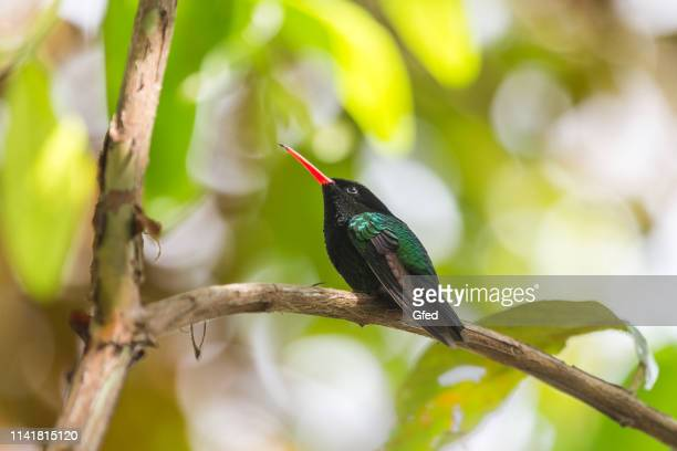 jamaica hummingbird - emerald green stock pictures, royalty-free photos & images