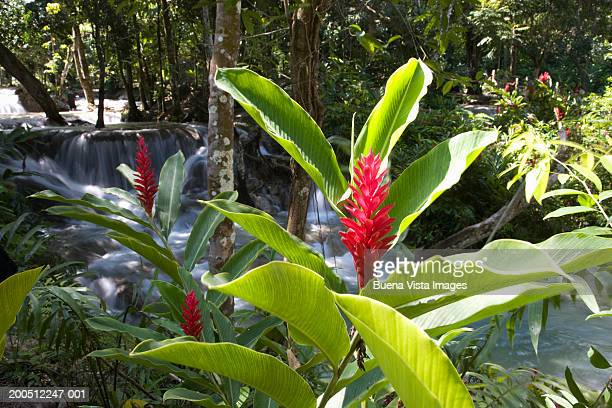 Jamaica, Ocho Rios, Dunns River Falls, tropical flower