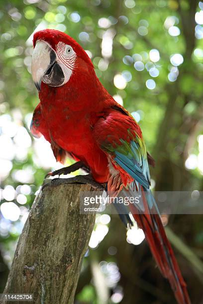 Jamaikanische parrot