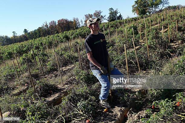 James Brannon who traveled from Florida because he could not find a job works pulling up stakes on the Jenkins Farm while the tomatoes go unharvested...