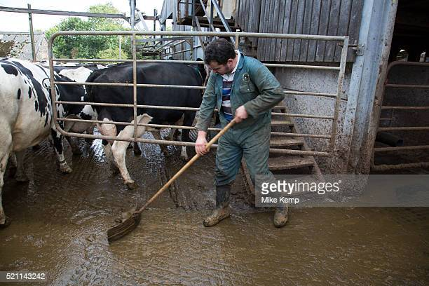James Clark scraping the muck out the main cow shed With approximately 340 in the herd muck is a constant in the lives of the staff here It all must...