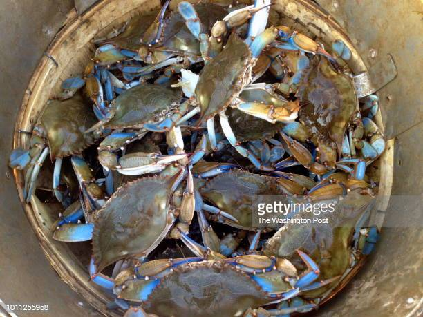 James Rice fills a bushel of Number 1 male blue crabs the largest crabs that the watermen sell
