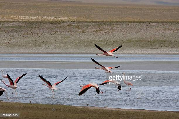 James's Flamingos In Flight Sama National Park Tarija Bolivia