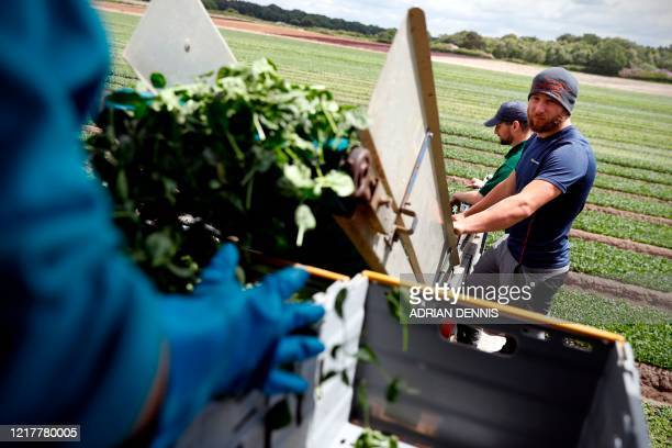 Jamie Mason part of the UK Seasonal Relief Team working for The Watercress Company looks on as they harvest spinach on farmland near Dorchester in...