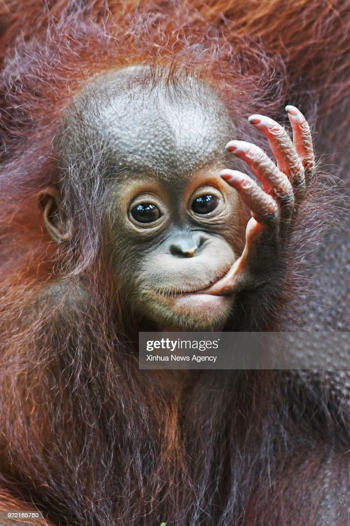 SINGAPORE, Jan. 11, 2018 -- A Bornean orangutan baby is seen during a media tour of newborn animals at the Singapore Zoo on Jan. 11, 2018. The animals under the care of the Wildlife Reserves Singapore (WRS) gave birth to over 540 babies in 2017.