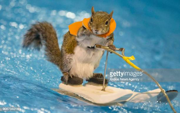 TORONTO Jan 14 2018 Twiggy the 10 years old WaterSkiing Squirrel performs during the 2018 Toronto International Boat Show at Exhibition Place in...