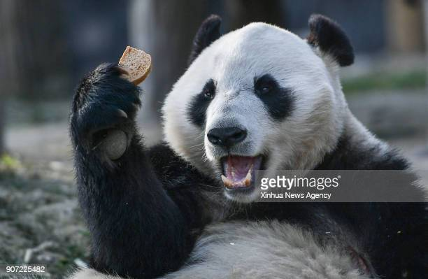DUJIANGYAN Jan 17 2018 Photo taken on Jan 16 shows a male giant panda named Hua Bao at the Dujiangyan base of the China conservation and research...