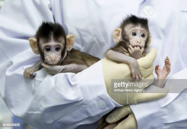 BEIJING Jan 25 2018 Two cloned macaques named Zhong Zhong and Hua Hua are held by a nurse at the nonhumanprimate research facility under the Chinese...