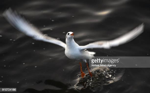 KUNMING Jan 26 2018 A blackheaded gull flies over the Dianchi Lake in Kunming southwest China's Yunnan Province Jan 25 2018 Blackheaded gulls flew...