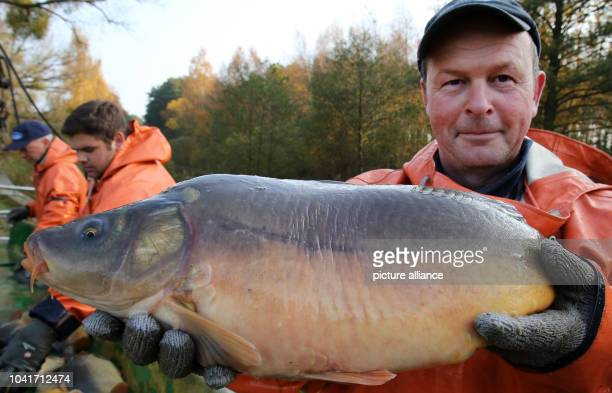 Jan Leheis shows off an especially robust specimen at the sorting table after being fished from a carp pond from the Mueritz-Plau fishery in the...