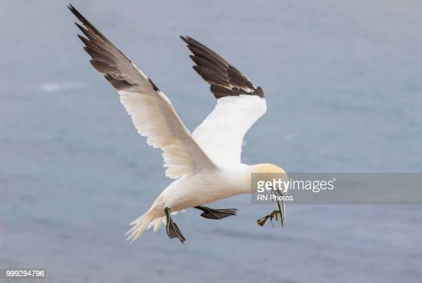 jan van gent - northern gannet stockfoto's en -beelden