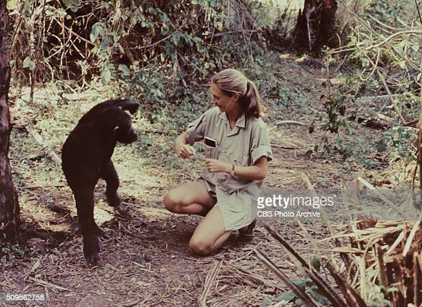 Jane Goodall appears in the television special Miss Goodall and the World of Chimpanzees originally broadcast on CBS Wednesday December 22 1965...