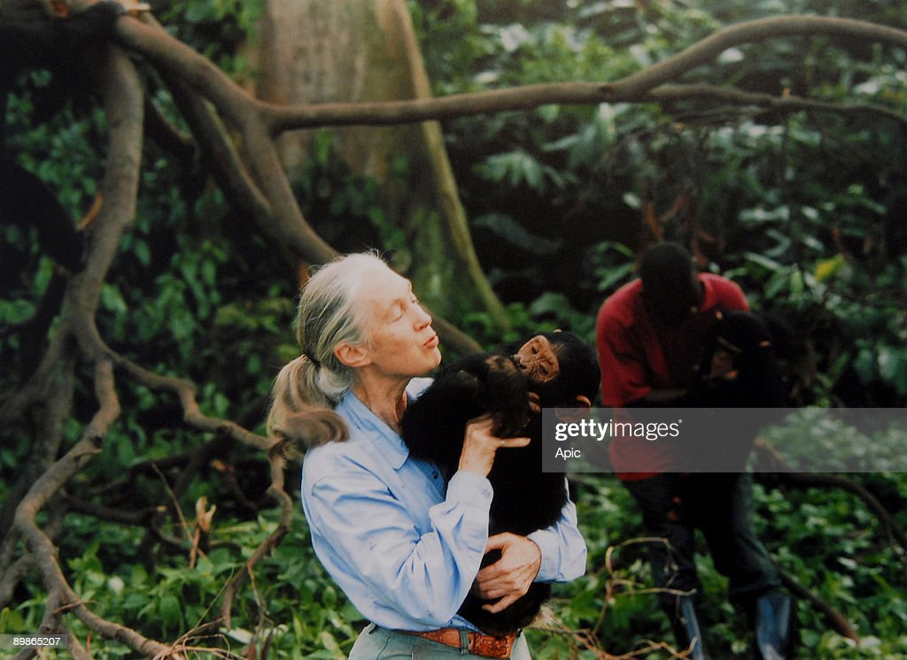 Jane Goodall, English primatologist, ethologist, and anthropologist, with a chimpanzee in her arms, c. 1995 : News Photo