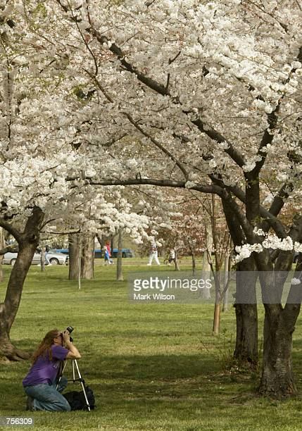Janet Redmen from Woodbridge Virginia photographs the cherry blossoms that are in peak bloom April 3 2002 along the Tidal Basin in Washington DC The...