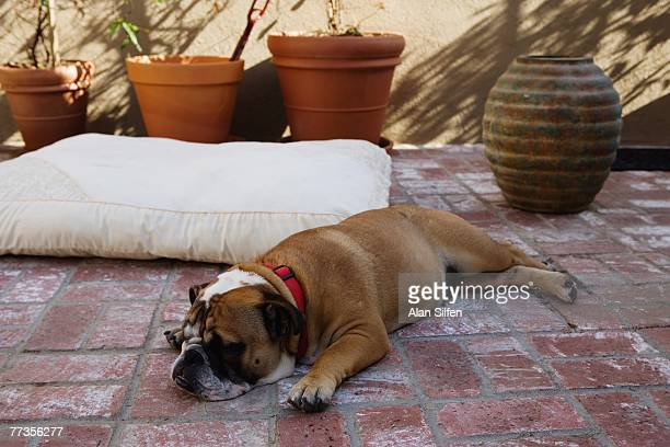 Janice Dickinson's pet bulldog rests on a brick patio during a portrait shoot at her home on April 27 2007 in the Hollywood Hills California Artists...