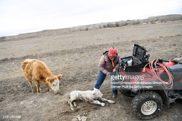 Janie VanWinkle works quickly to vaccinate and castrate a newborn calf as the mother cow stands by on Wednesday February 13 2019 Janie said that she...