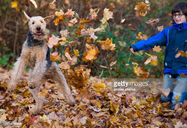 Jannik plays with the Airedale Terrier Fredda on a meadow in Sieversdorf Germany 19 October 2013 Photo Patrick Pleul/ZB | usage worldwide