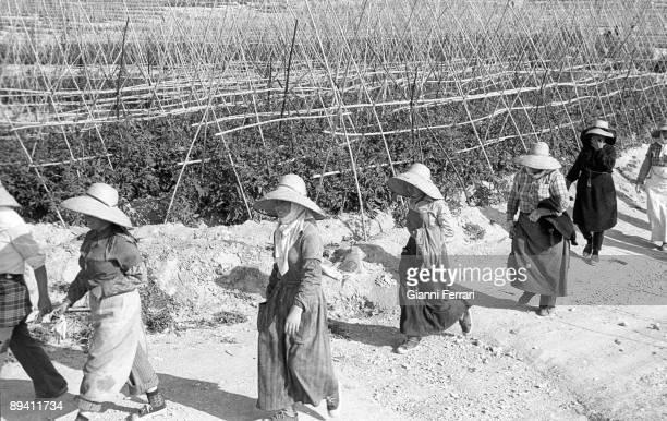 January 01, 1974. Jaen. Spain. Women recollecting tomatoes.