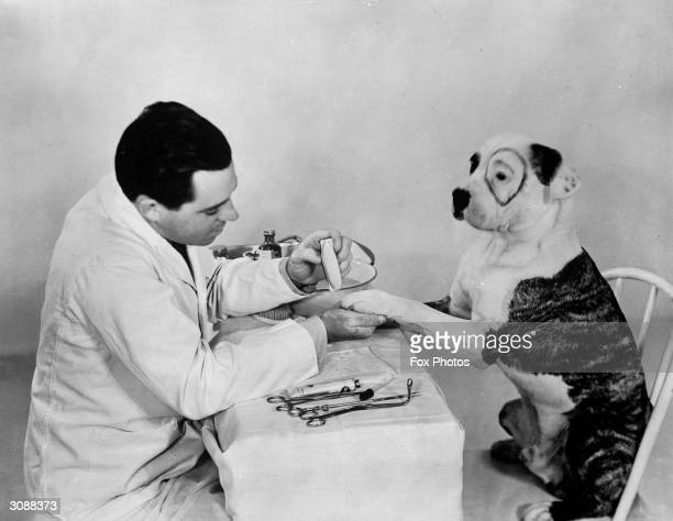 Pete the pup of Hal Roach's 'Our Gang' has his teeth cleaned throat sprayed eyebrows plucked toenails polished and his ears cleaned