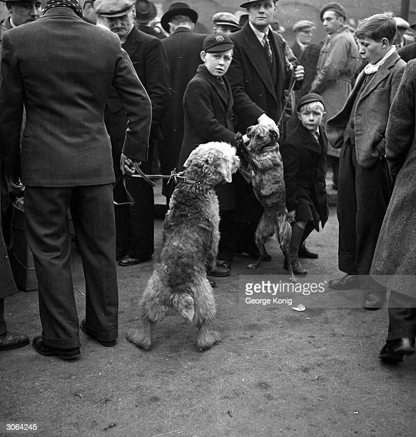 An Airedale and a greyhound strain towards each other at Club Row market in London's East End a street famed for its dog sellers