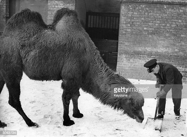 A camel in the snow at London Zoo with a keeper