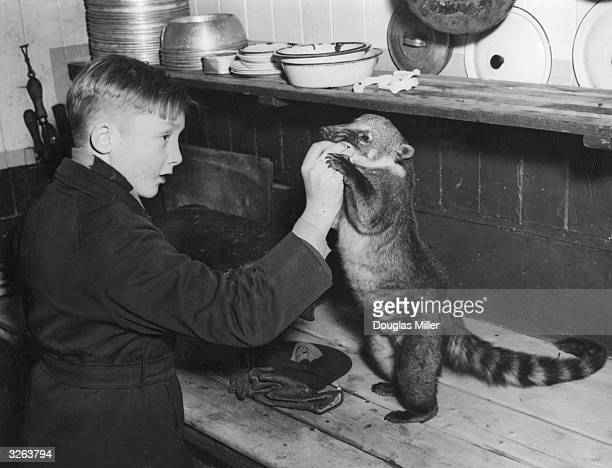 A boy playing with his pet South American coatimundi bear The animal escaped from his home in Barkingside and was later rescued by the PDSA