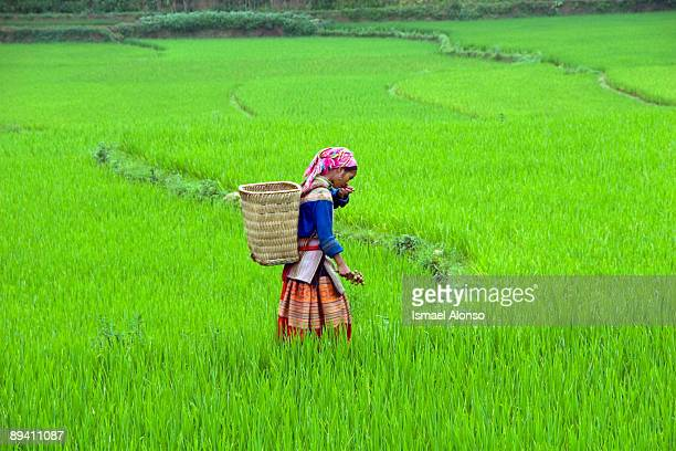 01 January 2005 Vietnam Gir of the H'Mong ethnic group in a rice field near Bac Ha