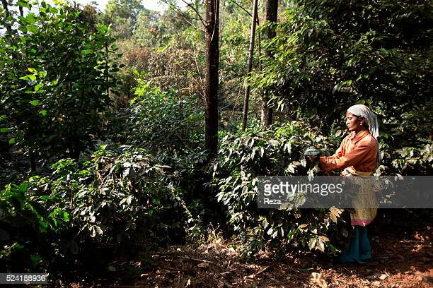 January 2013 India A woman picking coffee cherries on a plantation Farms connected with the Nespresso AAA Sustainable Quality program