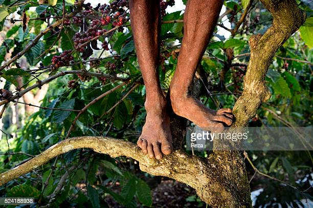 January 2013 Kumbrikhan plantation Chickmagalur district Karnataka India Feet of a man picking coffee cherries on a branch of a coffee tree Farms...