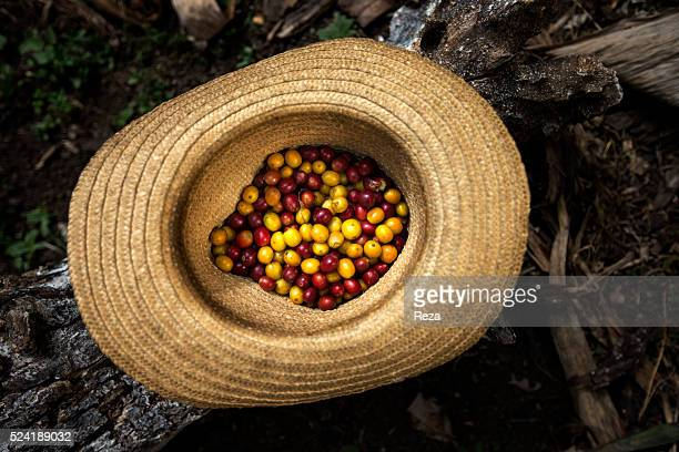 January 2013 Tierras Blancas plantation Inza Cauca Department Colombia A hat filled with coffee cherries that belongs to a member of 'Buscando...