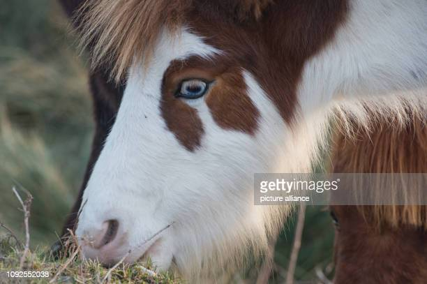 31 January 2019 MecklenburgWestern Pomerania Barth A horse grazes in a rural idyll on a pasture at Barth Youth Hostel The youth hostel is to be...