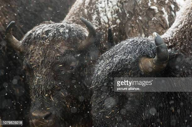 09 January 2019 SaxonyAnhalt Stangerode Two bisons stand next to each other on a paddock in the Stangerode Wildlife Park during heavy snowfall The...
