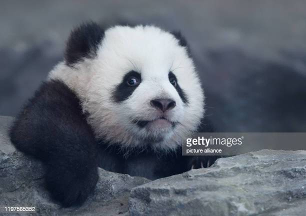 January 2020, Berlin: One of the panda twins climbs at the press event for the panda twins' first excursion at Berlin Zoo. Photo: Jordan Raza/dpa