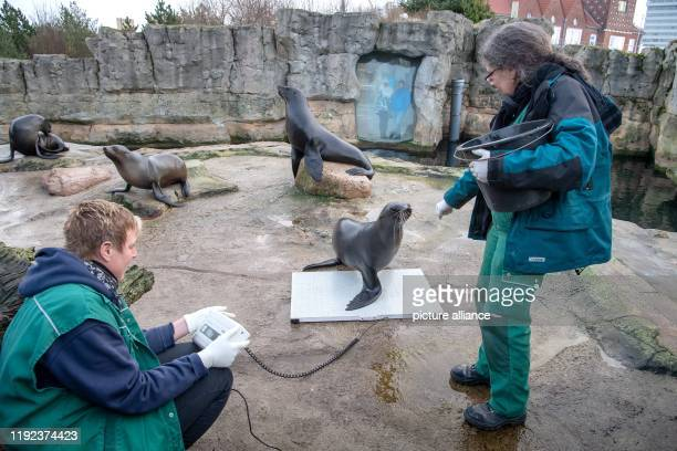 January 2020, Bremen, Bremerhaven: Animal keepers lure sea bears onto a scale during the inventory at the Zoo am Meer. Photo: Sina Schuldt/dpa