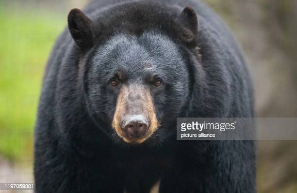 """January 2020, Lower Saxony, Osnabrück: Black bear """"Honey"""" can be found in the black bear enclosure in the North American animal world """"Manitoba"""" in..."""