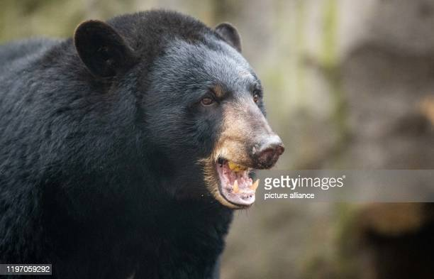 "January 2020, Lower Saxony, Osnabrück: Black bear ""Honey"" eats an apple in the black bear enclosure in the North American animal world ""Manitoba"" at..."