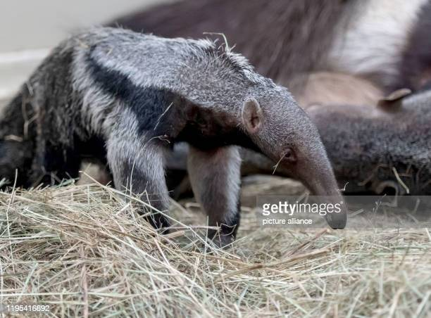 January 2020, North Rhine-Westphalia, Dortmund: A few weeks old baby anteater plays with his mother in the zoo enclosure, showing off his long...