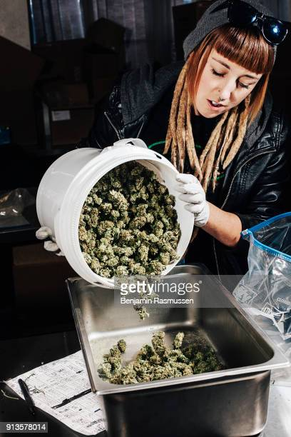 Sorting and packaging marijuana in the Kindman grow house in Denver Colorado on January 23 2015 In late November of 2000527 Coloradans voted for...