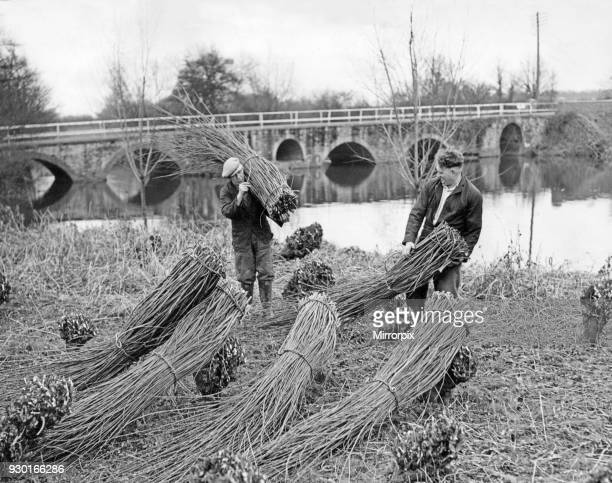 January is the time of year when they cut and bundle osiers in the countryside They are much used in farms and gardens to make hurdles Osier cutting...