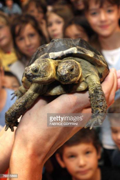 Janus the Geneva Museum of Natural Historys twoheaded Greek tortoise is presented to the press and the public during the official celebration of its...