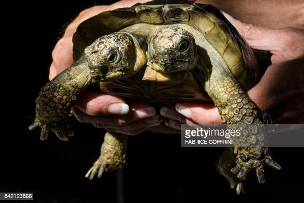 Janus the Geneva Museum of Natural History's twoheaded Greek tortoise is photographed on the day of its 20th birthday on September 3 in Geneva Janus...