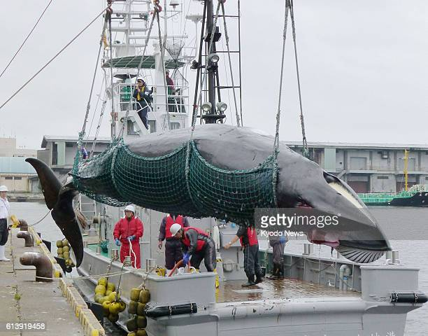 KUSHIRO Japan A minke whale is caught and landed in Kushiro Hokkaido as part of socalled research whaling on Sept 9 2012
