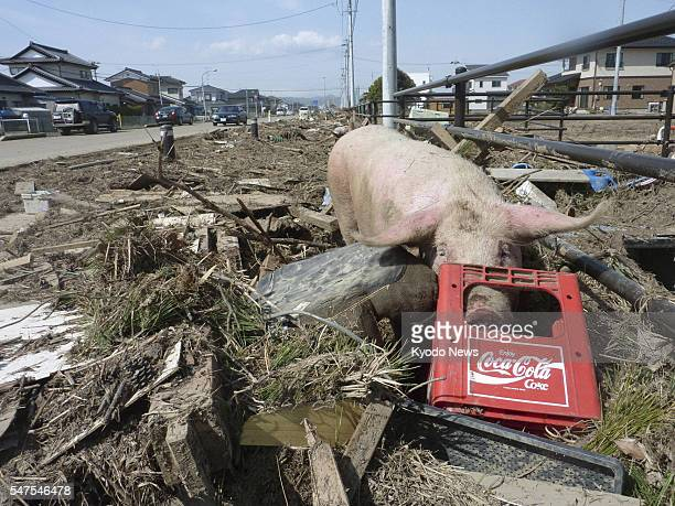SENDAI Japan A pig searches for food in Iwanuma Miyagi Prefecture northeastern Japan on March 14 after surviving the massive earthquake and tsunami...